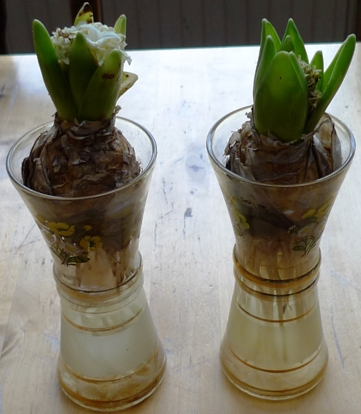 rotting bulbs in 1950s flower transfer vases