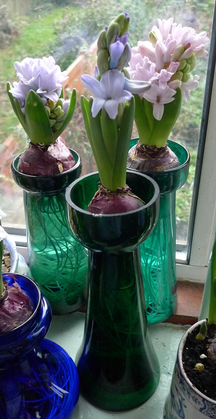 forced hyacinths on Christmas Eve