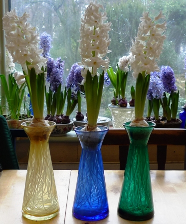 Ailos hyacinths in bloom in vases