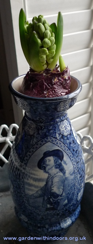 forced hyacinth in Charles II vase