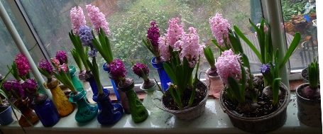 Christmas hyacinth bulbs in hyacinth vases