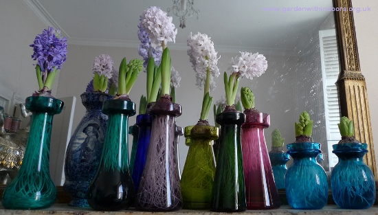 City of Bradford forced hyacinths