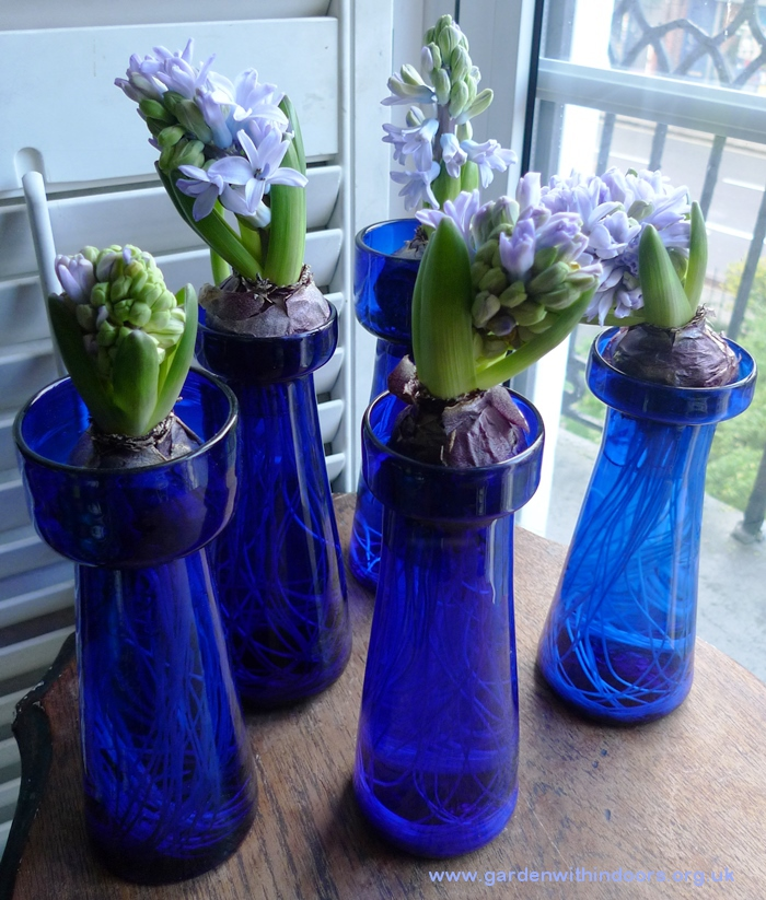 forced delft blue hyacinths in hyacinth vases