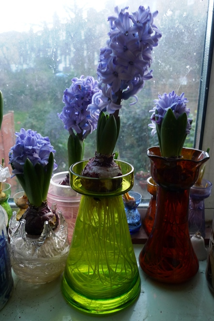 Delft Blue hyacinths forced in vases