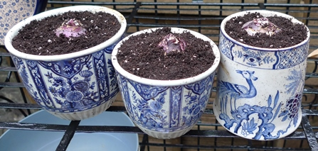 Delft pots with deJager Delft Blue hyacinth bulbs