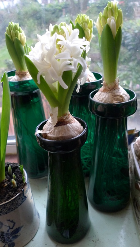 Fairy White hyacinths forced in hyacinth vases