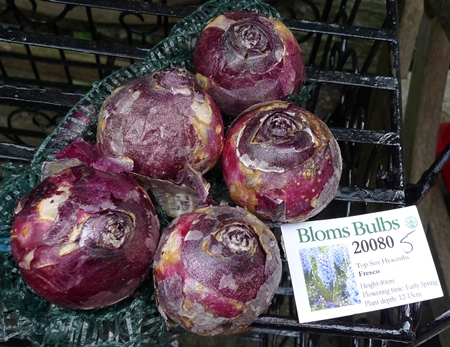 Bloms Fresco hyacinth bulbs