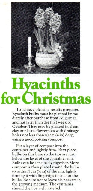 Hyacinths for Christmas page 1