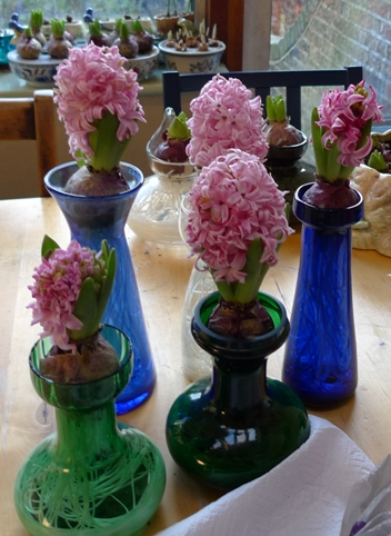 Pink Pearl hyacinth bulbs in vases