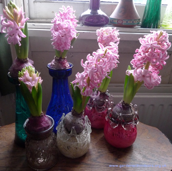 forced Pink Pearl hyacinths