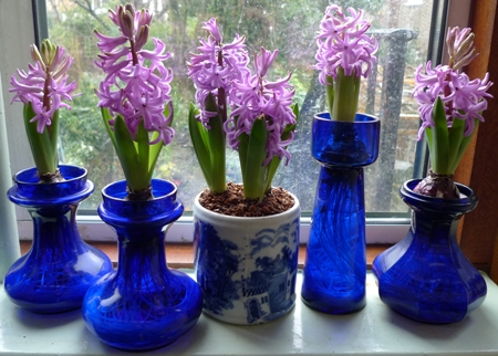forced Purple Sensation hyacinths
