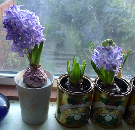 skyline hyacinth forced blooms in hyacinth vases
