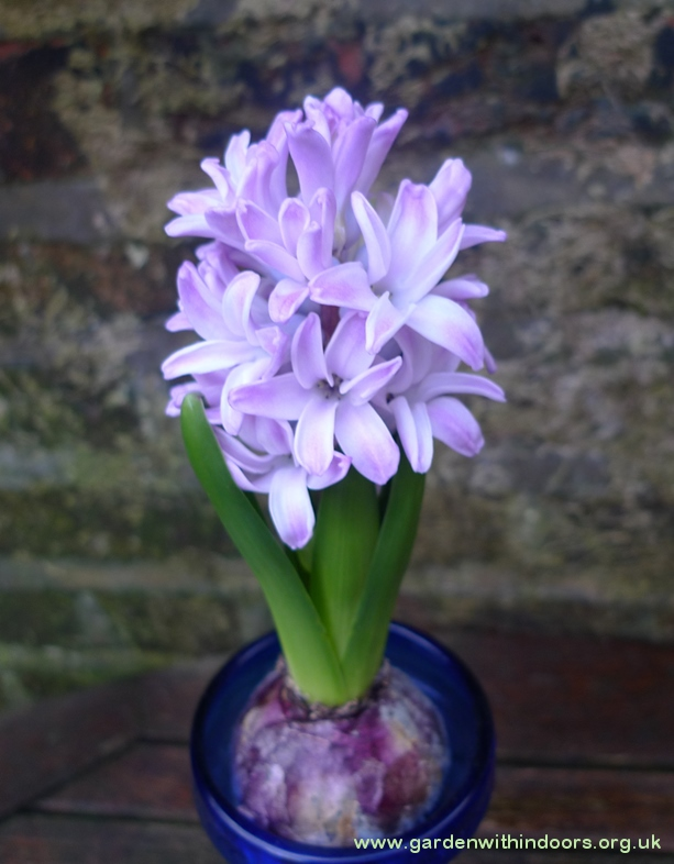 Splendid Cornelia forced hyacinth