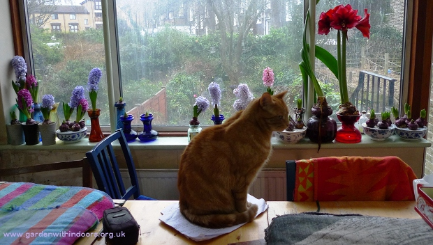 cat and forced hyacinths