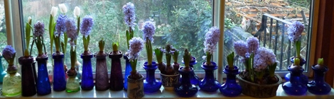 all Delft Blue hyacinths beginning of January