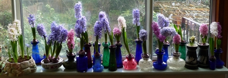 forced hyacinths in bloom in January