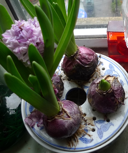 hyacinth bulbs in bulb bowl