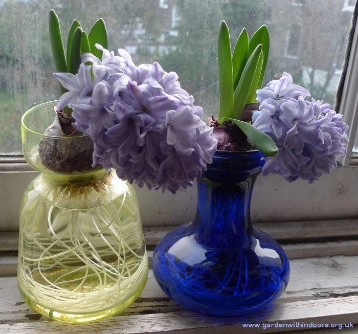 bent forced hyacinths