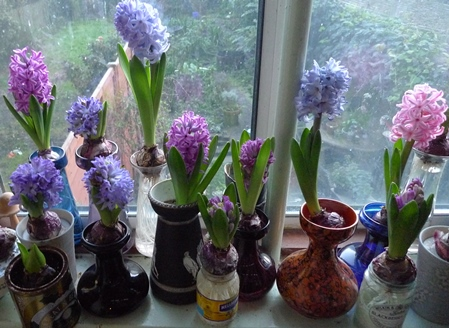 hyacinths blooming in forcing vases