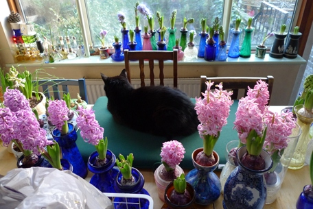black cat amongst the hyacinths