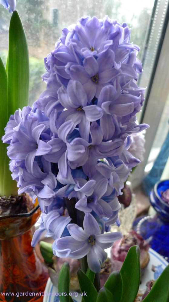 forced Blue Star hyacinth