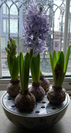 hyacinth bulb bowl on new year's eve