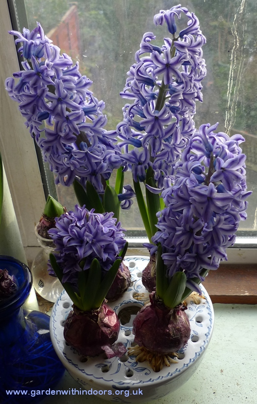 Blue Jacket forced hyacinths