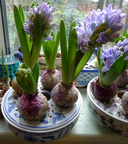hyacinth bulb bowl with Delft Blue hyacinth bulbs