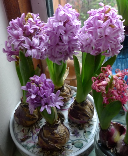 hyacinths blooming in a bulb bowl