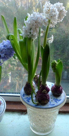 hyacinths in improvised bulb bowl
