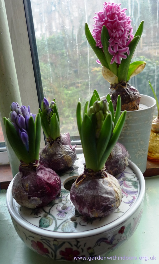 Blue Jacket hyacinths in bulb bowl
