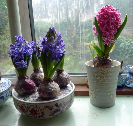 Blue Jacket and Pink Pearl hyacinths