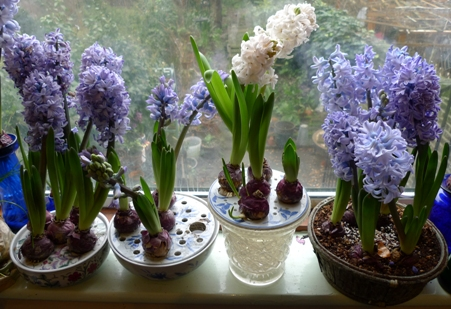 bulb bowls and baskets with hyacinths