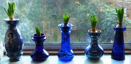 bulbs from pots in vases
