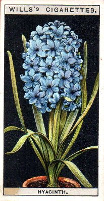 Wills cigarette card hyacinth from Flower Culture in Pots
