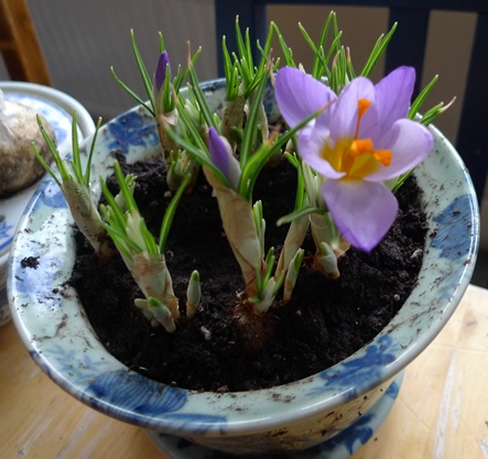 forced crocus