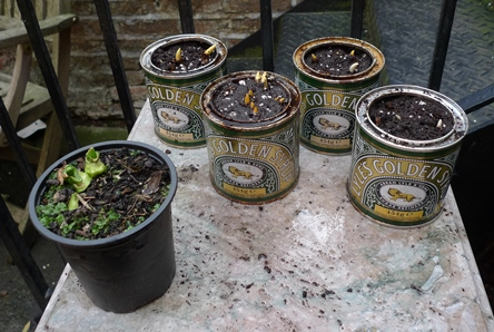 crocus in golden syrup tins