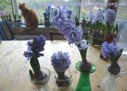 forced hyacinths in bloom in vases
