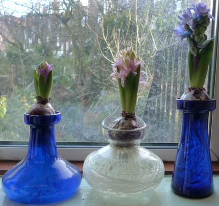 first signs of hyacinth flowers