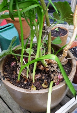 growing hyacinth bulblets