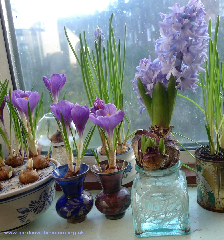 hyacinth and crocus