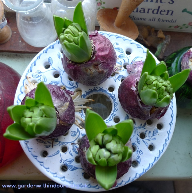 bulb bowl forced hyacinths in bud