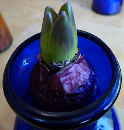 hyacinth bulb Blue Star