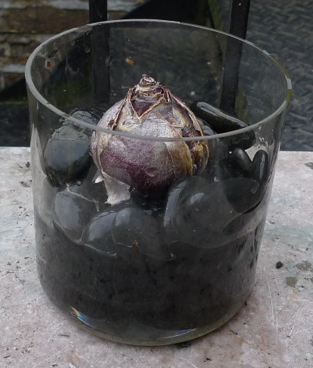 hyacinth bulb over pebbles