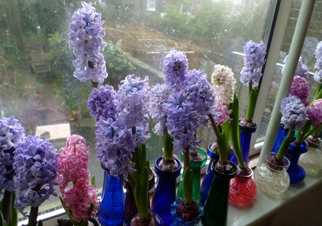 forced hyacinth bulbs