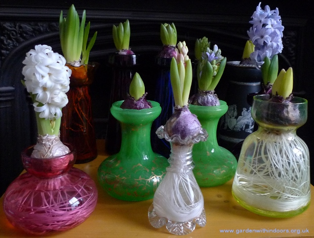 forced hyacinth flowers and buds