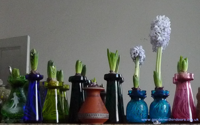 hyacinth bulbs blooming in hyacinth vases