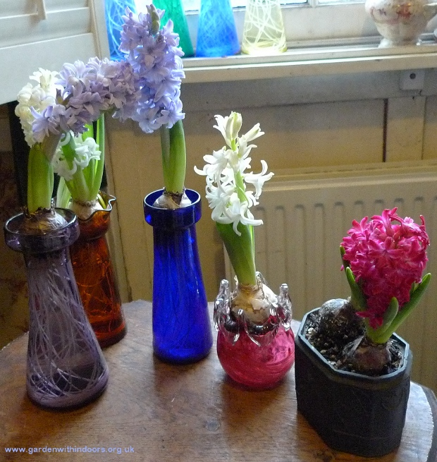 forced hyacinths in hyacinth vases in bloom