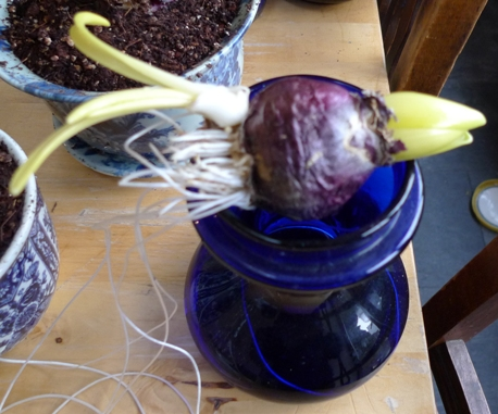 forced hyacinth bulb with bulblet