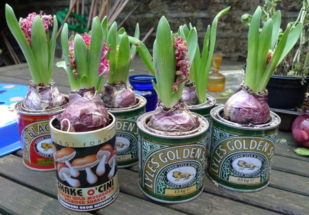 forced Pink Pearl hyacinths planted in tins